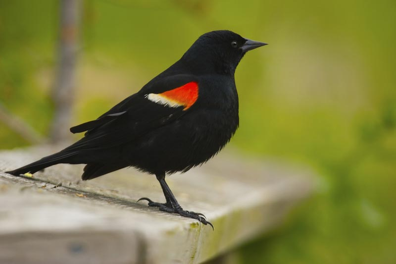 Black Bird With Orange Spot 2